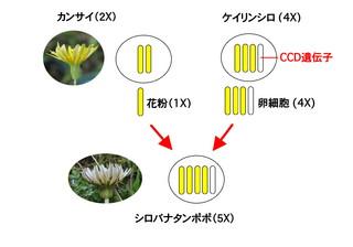 シロバナ模式図a.jpg